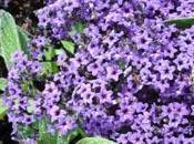 L'héliotrope: fleurs mauves parfum envoûtant