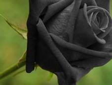 rose noire d'Halfeti Turquie