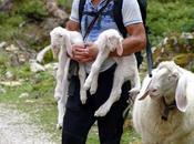 Ehrwalder Alm: deux naissances moutons bergamasques l´alpage