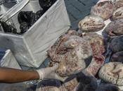 pangolins, mammifères plus braconnés monde, désormais protégés