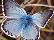 Argus bleu-nacré (Lysandra coridon)