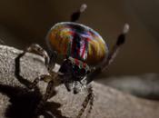 araignée très curieuse l'araignée paon mâle