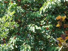 C'est récolte fruits rouges