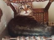 Luciole petite chatte tigréee Européenne mois l'adoption chez chiens galgos