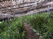 Matcha 2017, quatre cultivars