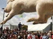 556° porcs volent cette semaine…