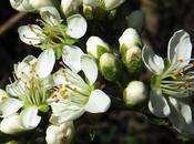 Cerisier Sainte-Lucie (Prunus mahaleb)