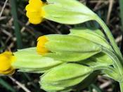 Primevère officinale (Primula veris subsp. veris)