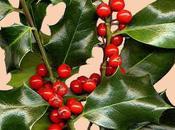 Houx, (Ilex aquifolium)