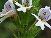 Euphraise raide (Euphrasia stricta)