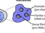 #trendsincellbiology #nucléole #longévité Fonction nucléolaire dans régulation longévité