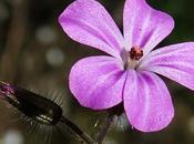 Géranium herbe Robert (Geranium robertianum)