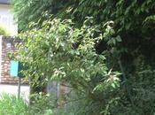 Callicarpa bodinieri apprécie pluie