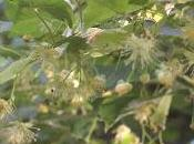 Fleur tilleul
