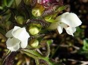 Brunelle découpée (Prunella laciniata)