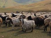 D'anciens génomes chèvres révèlent plusieurs sources population cours domestication