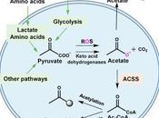 #Cell #mitochondrie #acétate #glucose Production d'Acétate partir Glucose Couplage Métabolisme Mitochondrial chez Mammifères