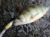pêche carnassiers