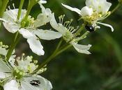 Filipendule commune (Filipendula vulgaris)