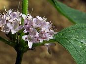 Menthe champs (Mentha arvensis)