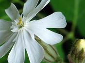 Compagnon blanc (Silene latifolia subsp. alba)