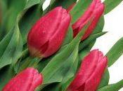 Comment prendre soin tulipes