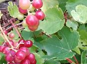 vignes résistantes mildiou (vidéo)