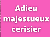 Adieu majestueux cerisier (vidéo)