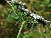 Ciguë (Aethusa cynapium)