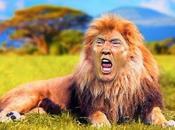 Attention, lion blessé