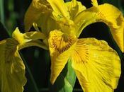 Iris marais (Iris pseudacorus)