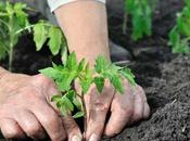 Potager comment cultiver tomate