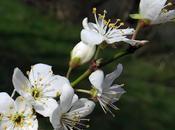 Prunellier, Épine noire (Prunus spinosa)