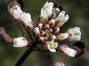 Tabouret perfolié (Microthlaspi perfoliatum)