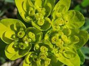 Euphorbe verruqueuse (Euphorbia flavicoma subsp. verrucosa)