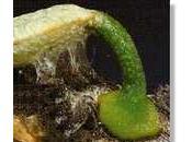 gui, cette plante parasite petite graine